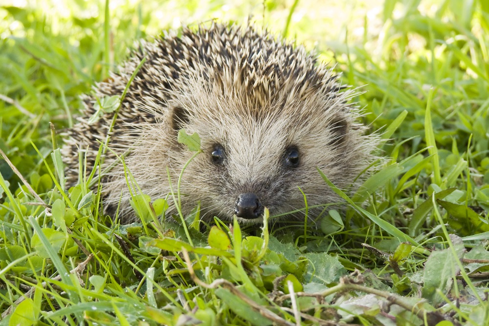 Upcoming Course: Basic Hedgehog Care - Saturday 20 October 2018