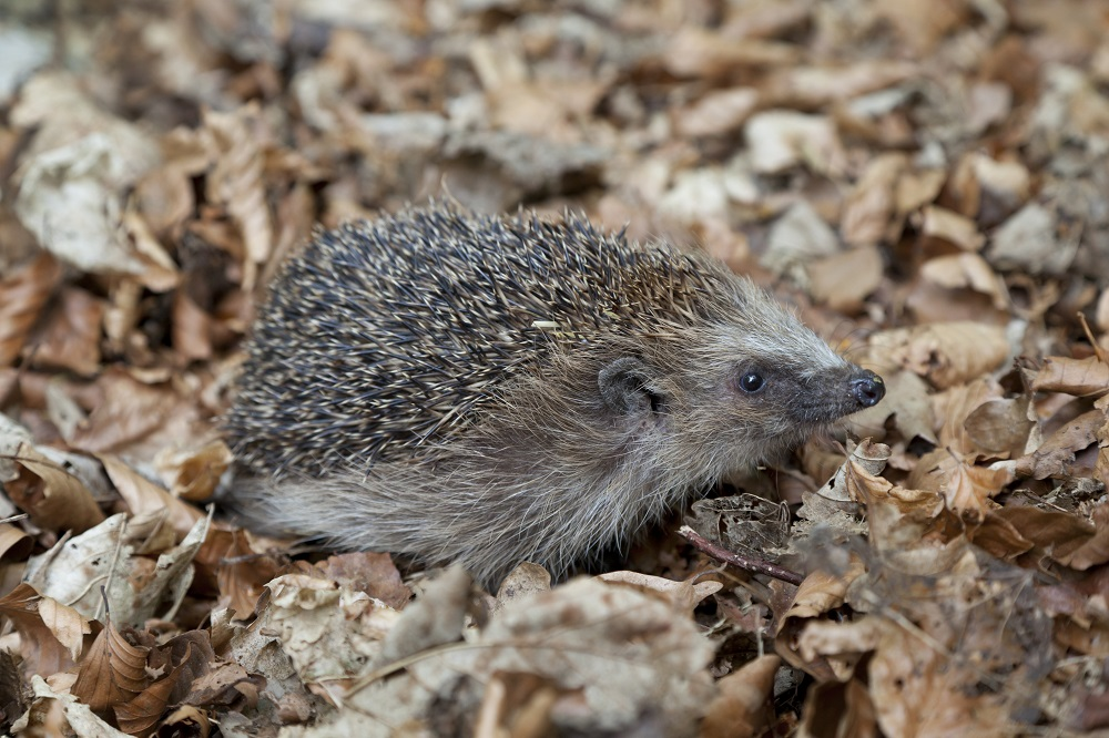 Upcoming Course: Introduction to Hedgehogs - Saturday, September 1 2018